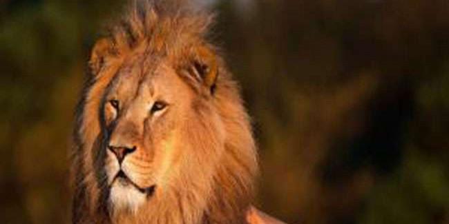 शेरों की अवैध सफारी पर राष्ट्रीय मानव अधिकार आयोग ने गुजरात से किया जवाब-तलब
