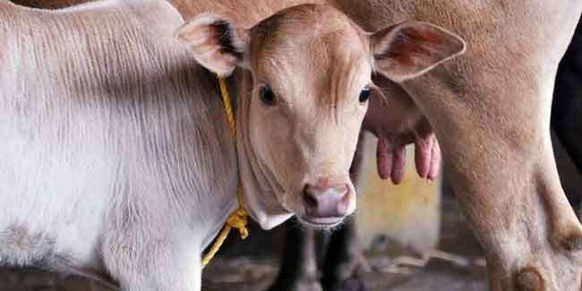 राजस्थान के मंत्री बोले - गाय को पूजने का कोई औचित्य नहीं, यह एक बहुउपयोगी पशु है