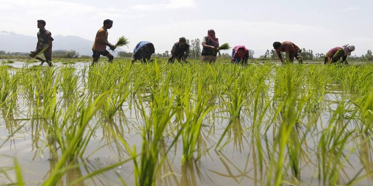 Odisha farmers spend Rs 2,403 to produce a quintal of paddy, get only Rs 1,815