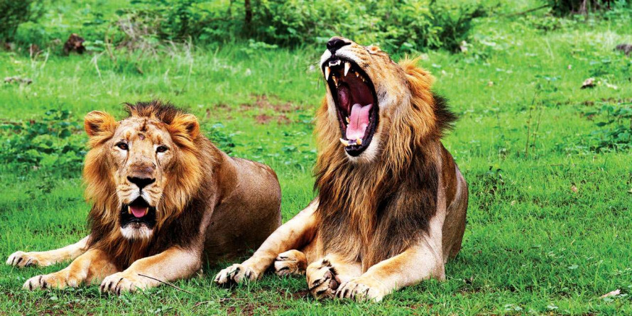 Gujarat lost 222 lions in the past two years: Govt