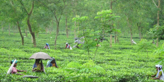 West Bengal government withdraws fertilizer subsidy on tea
